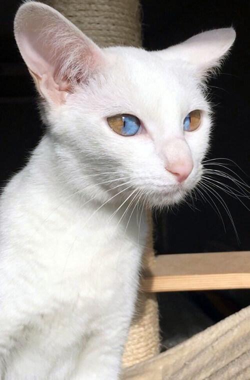 Кішка з секторальною гетерохромією (фото)