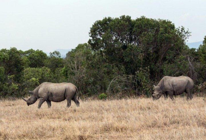Дві останні самки білого носорога і жодного самця
