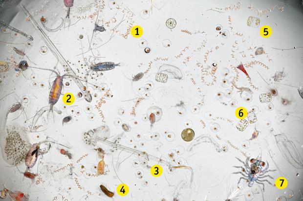 Що знаходиться в морській воді, якщо заглянути в мікроскоп?