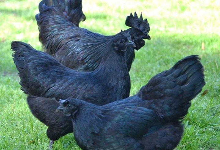 Аям чемані - кури цієї рідкісної породи чорні не тільки зовні, але і всередині (фото)
