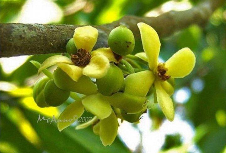 Дерево, від плодів якого твій піт пахнутиме фіалками (фото)