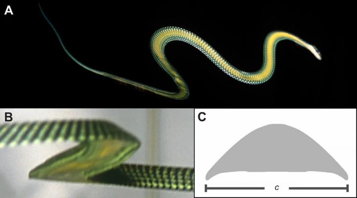 Летюча райська змійка - змія, яка вміє літати (фото)