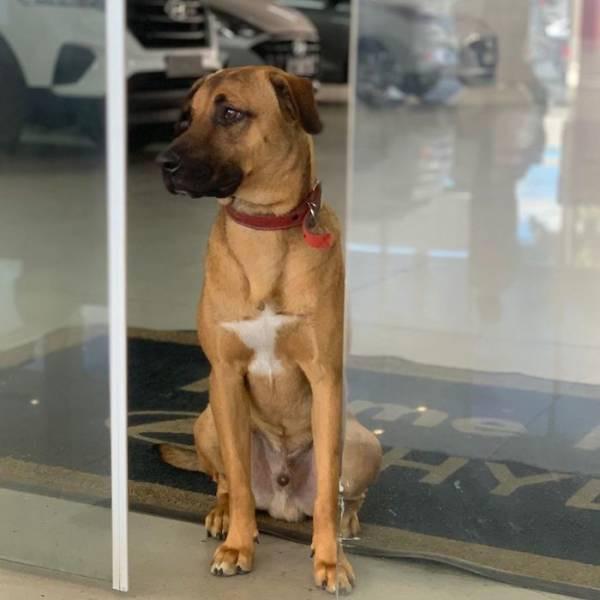 У Бразилії доброзичливого бродячого собаку взяли на роботу в автосалон (фото)