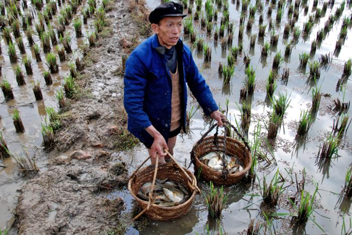 Чому на рисові поля запускають рибу?
