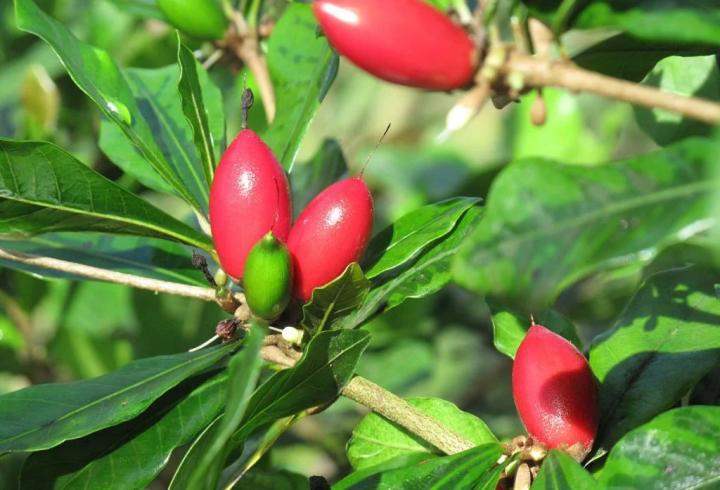 Дивовижні ягоди, після яких все здається солодким