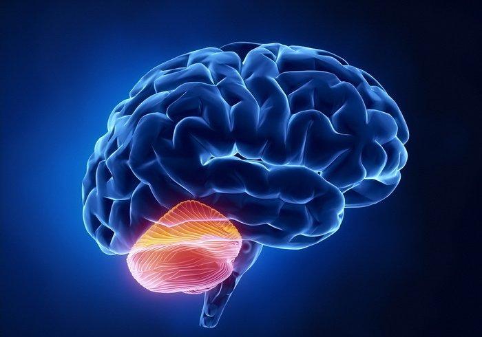 Вчені виявили, що мозочок допомагає перетравлювати спирт