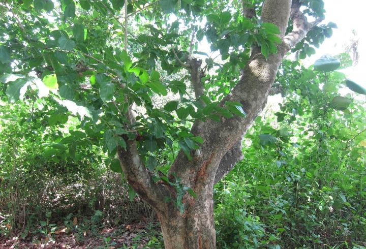 Стрихнінове дерево - одне з найнебезпечніших на планеті