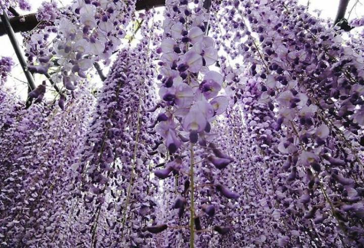 Гліцинія - деревоподібна субтропічна ліана, яка виживає навіть при -37°С (фото)