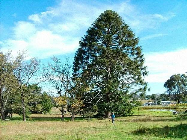 Доісторичне дерево-монстр з найбільшими в світі шишками (фото)