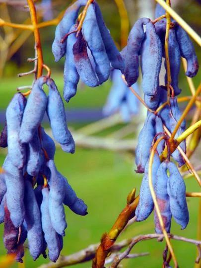 Декенея - «великі слимаки в блакитний шкірі» (фото)