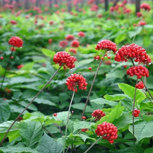 Як виглядають рослини, у яких ми їмо тільки «підземні» частини (фото)
